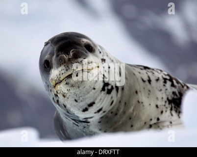 Leopard Seal resting on ice floe - Stock Photo