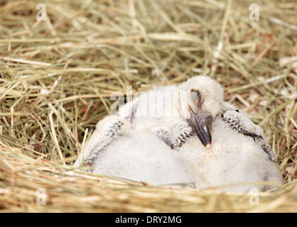 Three baby White Stork (Ciconia ciconia). Stork and Otter protection center. Hunawihr. Haut-Rhin. Alsace. France - Stock Photo
