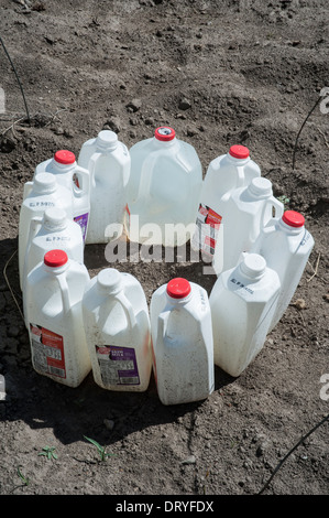 Used milk cartons are filled with water that heats up during the day and keeps the plants warm at night in a garden - Stock Photo