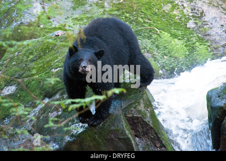 A large black bear perches on a rock above a salmon river on Princess Royal Island, British Columbia, Canada. - Stock Photo