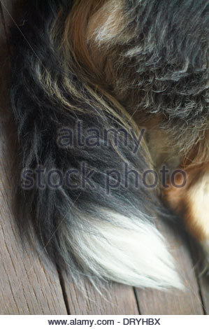 An image detailing the 'tri-colors' - white, brown and black -  of a border collie dog's tail and hindquarters. - Stock Photo