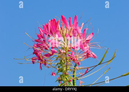 Spider Flower or Spider Plant  'Kirschkonigin' (Cleome spinosa, Cleome hassleriana, Tarenaya hassleriana) - Stock Photo