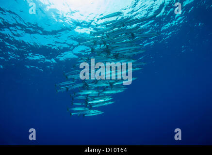 Blackfin barracuda Spyraena qeni, Philippines, Asia - 2013 - Stock Photo