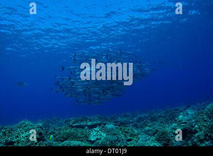 Blackfin barracuda Spyraena qeni Philippines, Asia - 2013 - Stock Photo