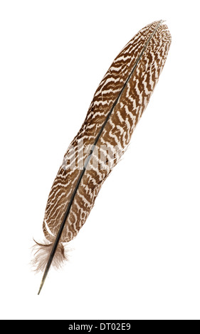 Pheasant feather isolated on white - Stock Photo