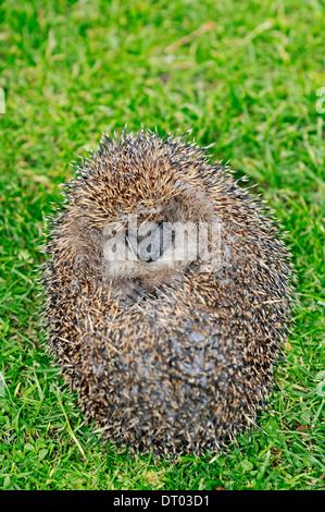 European Hedgehog or Common Hedgehog (Erinaceus europaeus), curled up in defensive ball - Stock Photo