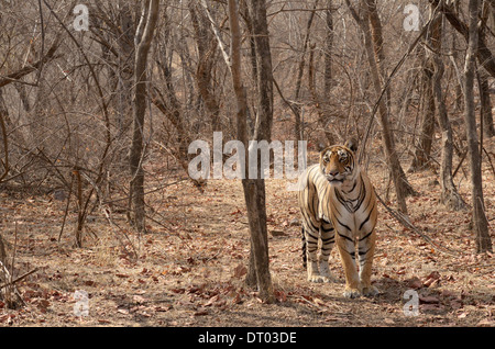 Bengal tiger ( Panthera tigris tigris ) stalking.