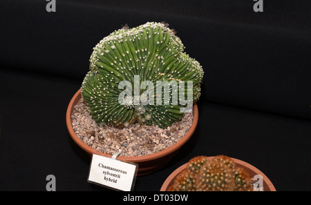 A cactus specimen on display in the horticultural marquee at an agricultural show in Surrey - Stock Photo