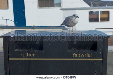 Seagull perched on a litter bin, Conwy Harbour, North Wales. UK - Stock Photo