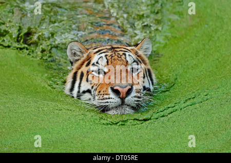 Siberian Tiger or Amur Tiger (Panthera tigris altaica), swimming - Stock Photo