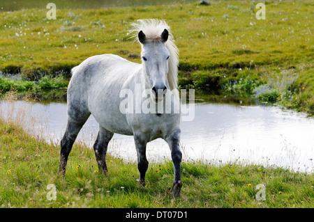 Equus ferus caballus, Icelandic horse, Iceland - Stock Photo