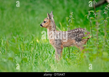 Roe Deer (Capreolus capreolus), fawn, North Rhine-Westphalia, Germany - Stock Photo