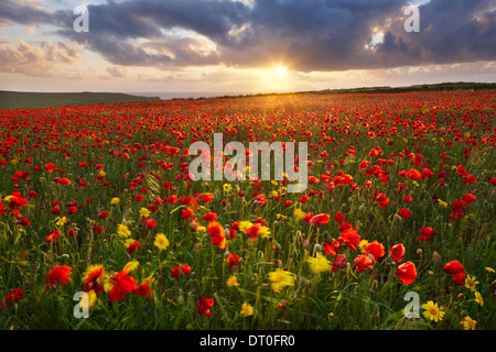 A poppy field with a mix of corn marigolds growing close to the Cornish coast at West Pentire - Stock Photo