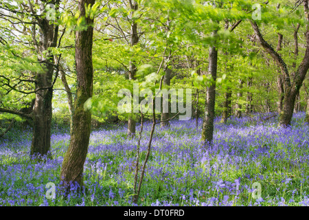 Delicate bluebells swaying in the breeze - Stock Photo