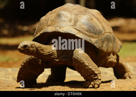 Tortoises are a family of land-dwelling reptiles in the order Testudines. Like other turtles, tortoises - Stock Photo