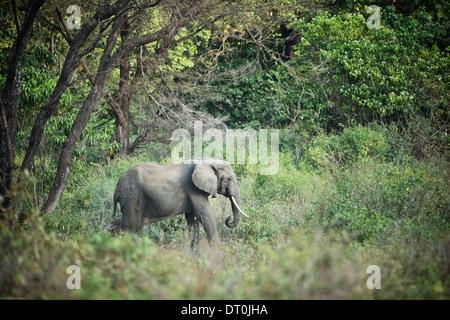 a lone elephant in Lake Manyara National Park, Tanzania Africa - Stock Photo