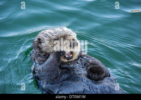Cute Sea Otter, Enhydra lutris, lying back in the water and yawning with paw to his face, Seldovia Harbor, Alaska, USA