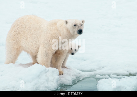 Polar Bear Mother with Cub hiding behind her, Ursus maritimus, Olgastretet Pack Ice, Spitsbergen, Svalbard Archipelago, - Stock Photo