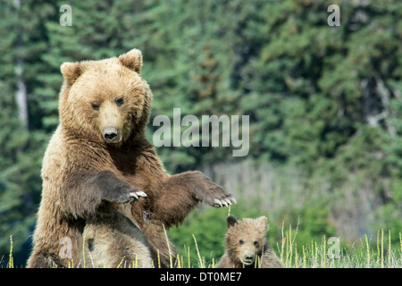 Grizzly Bear Sow, Ursus arctos, with two Spring Cubs, one nursing as she stands, Lake Clark National Park, Alaska, - Stock Photo