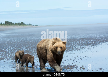 Grizzly Bear Sow with two Spring Cubs, Ursus arctos, walking onto the tidal flats of the Cook Inlet, Alaska, USA - Stock Photo
