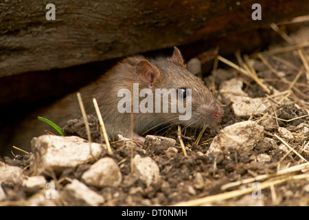 A wild Brown Rat (Rattus norvegicus) - Stock Photo