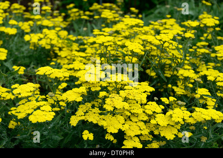 achillea filipendulina moonshine yellow yarrow flower bloom blossom herbaceous perennial summer flowering - Stock Photo
