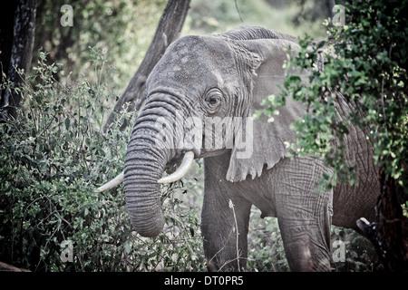 an elephant in Lake Manyara National Park, Tanzania Africa - Stock Photo