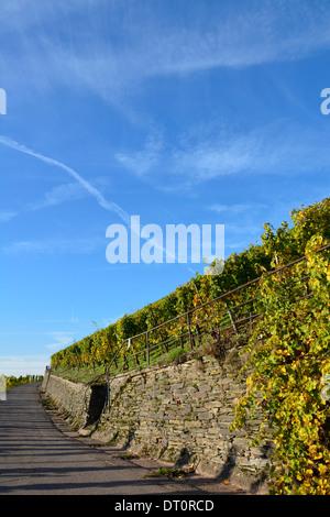 Vineyard with blue sky Moselle Germany Weinbergslandschaft an der Mosel Weinbergsweg mit Schiefermauer und blauem Himmel