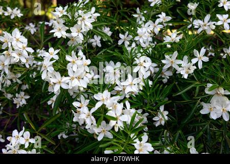 Choisya ternata aztec pearl white flowers flowering deciduous shrubs choisya ternata aztec pearl white flowers flowering deciduous shrubs shrub scented fragrant stock photo mightylinksfo