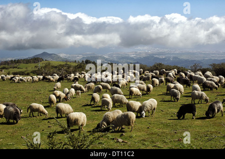 Flock of sheep herding in the Cumbre mountain region, in Gran Canaria island one of Spain's Canary Islands - Stock Photo