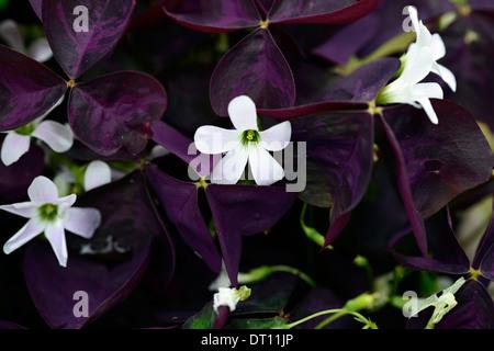 Oxalis triangularis stock photo 280162359 alamy oxalis triangularis atropurpurea false shamrock white flower flowers flowering purple leaves foliage perennial stock photo mightylinksfo