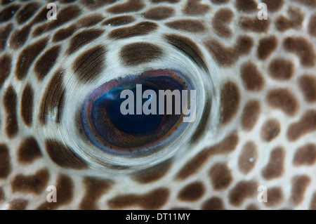 Starry Pufferfish, Arothron stellatus, full frame close up of eye detail, Halmahera, Maluku Islands, Indonesia - Stock Photo