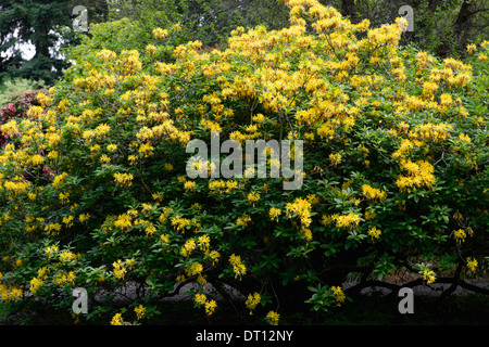 rhododendron luteum yellow azalea pontica rhododendrons shrubs yellow flowers flowering ericaceous tree shrub - Stock Photo