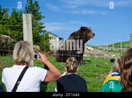Tourists taking photographs of a grizzly bear living in an enclosed wildlife refuge atop Grouse Mountain in Vancouver, - Stock Photo