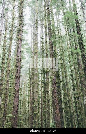 Olympic National Park Washington USA. Sitka Spruce and Western Hemlock trees rainforest - Stock Photo