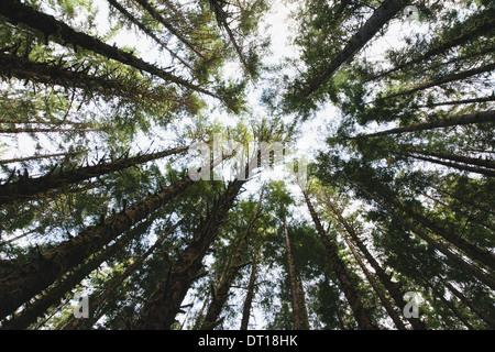 Olympic National Park Washington USA. View tree canopy temperate rainforest USA - Stock Photo