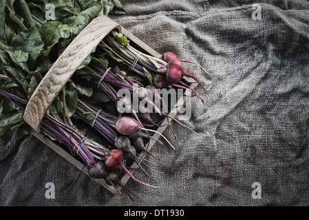 Woodstock New York USA Organic Assorted Beets with stems just harvested - Stock Photo