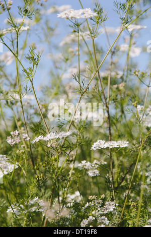 Flowering cilantro or Chinese Parsley coriander - Stock Photo