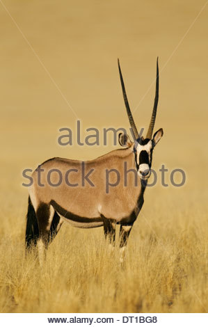 NamibRand Nature Reserve Namibia Oryx gazella NamibRand Nature Reserve Namibia - Stock Photo