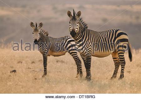 Torra Conservancy Damaraland Namibia Two mountain zebras Equus zebra on plains Namibia - Stock Photo