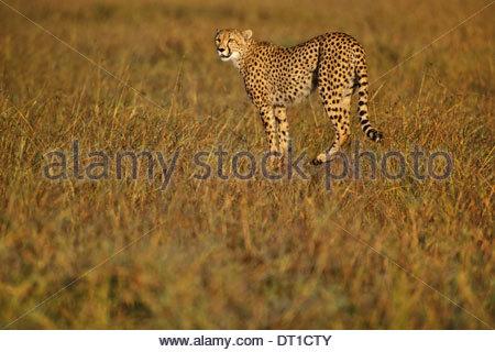 Kenya Cheetah hunting Acinonyx jubatus Kenya - Stock Photo