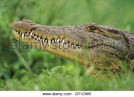 Okavango Delta Botswana Nile crocodile Crocodylus niloticus Okavango Delta - Stock Photo