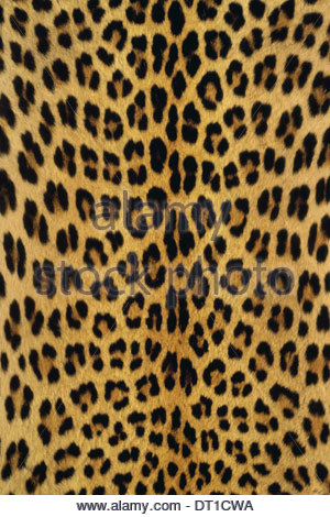 Botswana Leopard skin Pantherpardus Botswana