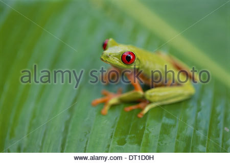 Barro Colorado Island Panama Red-eyed tree frog Agalychnis callidryas Panama - Stock Photo