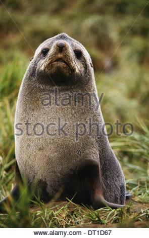 South Georgia Island Antarctic fur seal Arctocephalus gazella - Stock Photo