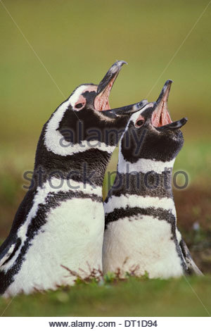 Falkland Islands South Atlantic islands Magellanic penguins call Spheniscus magellanicus - Stock Photo