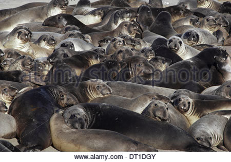 Ano Nuevo State Reserve California USA northern elephant seals Miroungangustirostris - Stock Photo