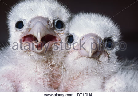 California USA Peregrine falcon chicks Falco peregrinus USA - Stock Photo
