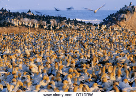 Lambert's Bay South Africa Cape gannet colony Morus capensis South Africa - Stock Photo