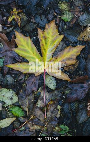 Washington State USA autumn maple leaf turning colour green to brown - Stock Photo